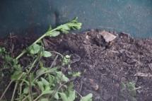 weeds inside compost bin